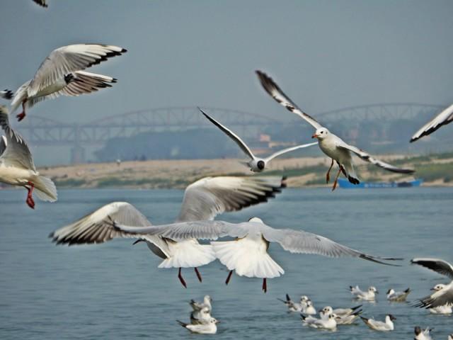 Siberian Birds in Varanasi
