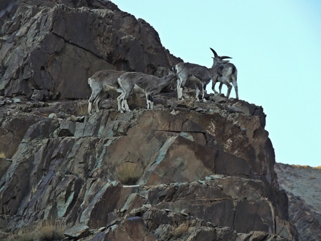 Group of Bharal or Himalayan blue sheep