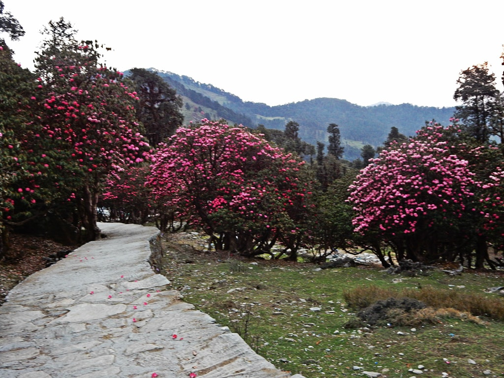 flowers all around in Chopta