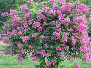 Bougainvillea Garden Chandigarh