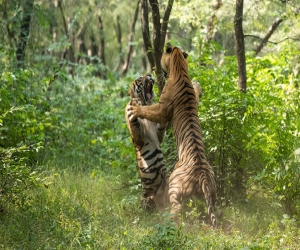 Two tigers clash for Noor (a tigress) in Ranthambore, video of creepy fight goes viral